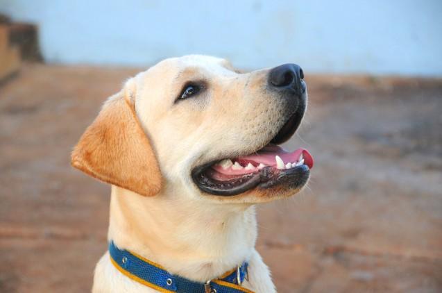 Perros con dientes sanos