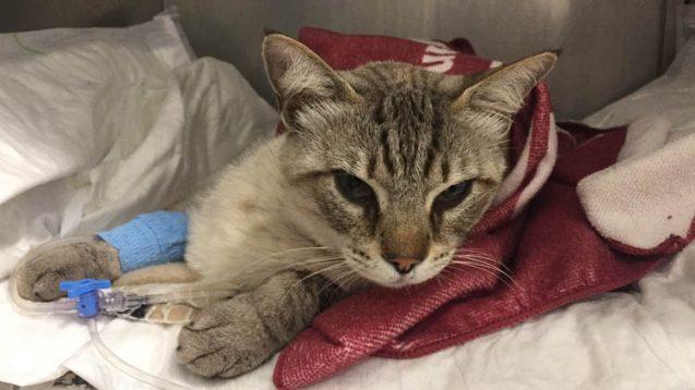 Hoy me ha tocado a mí: cuando el gato de una veterinaria enferma