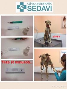 Leishmania-Clinica-Veterinaria-Sedavi