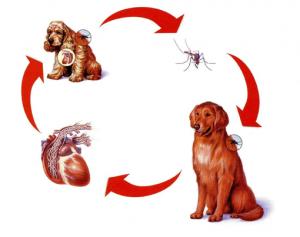 filariosis-canina-clinica-veterinaria-valverde-veterinario (1)